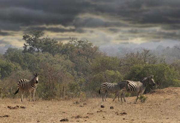 Zebra by esoxlucius