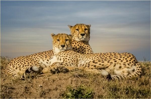 Cheetahs by mjparmy