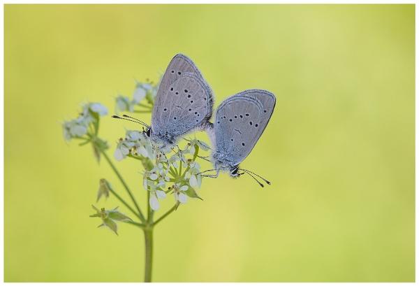 Small Blues - Cupido minimus.. by NigelKiteley