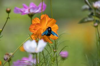 Carpenter Bee feeding on a Garden Cosmos (Cosmos sulphureus Cav.