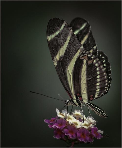 Zebra Longwing Butterfly by PhilT2