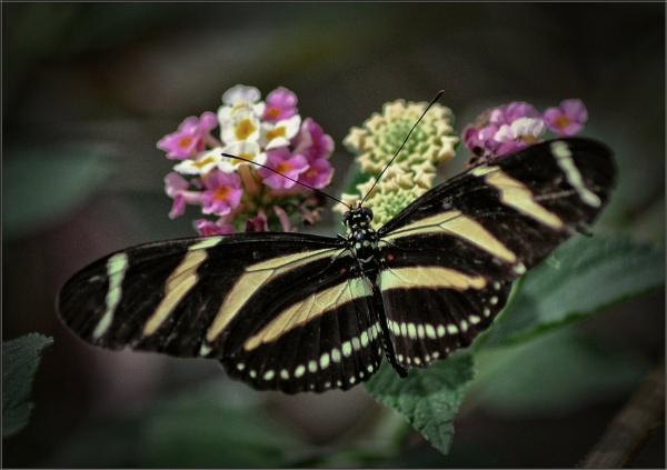 Zebra Longwing Butterfly (2) by PhilT2