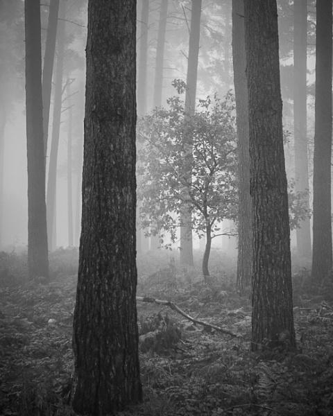 Tree in the mist by soulsharer