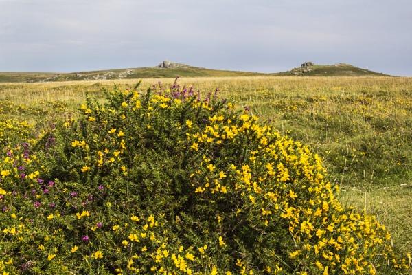 Gorse on the Moor by Irishkate