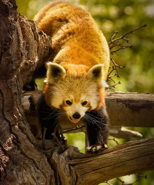 red panda by tpfkapm