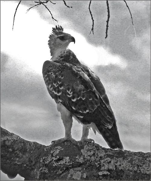 Kenyan Eagle by JuBarney