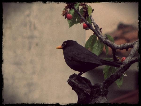 cherries by laura1