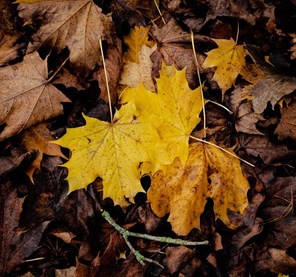 Autumnal Leaf 8 by Nikonuser1