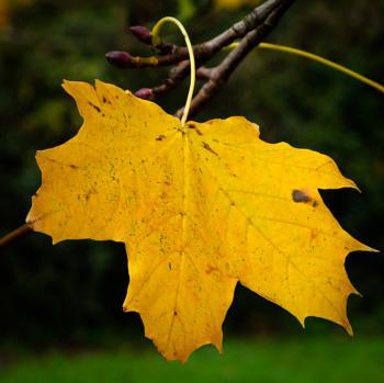 Autumnal Leaf 10