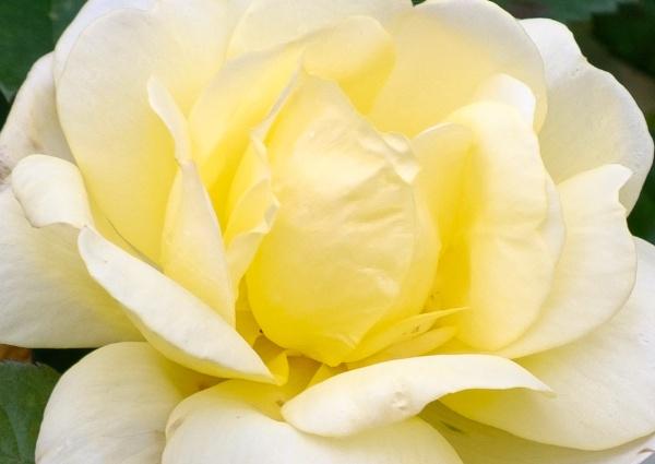 Rose by Nikonuser1