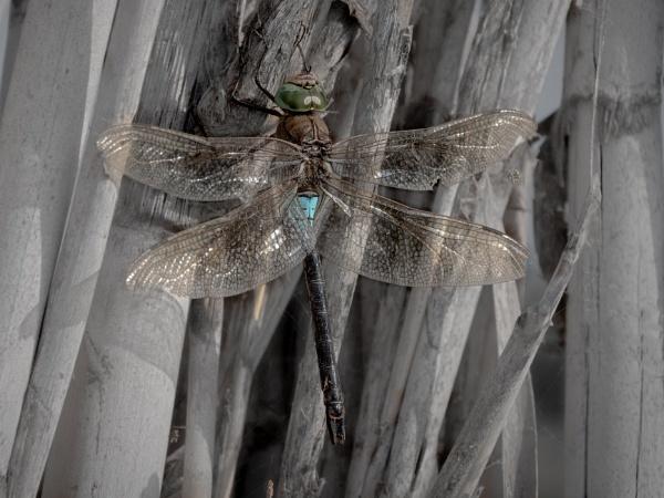 Emperor Dragonfly by jimobee