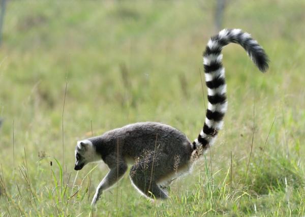 Foraging Lemur by Fogey