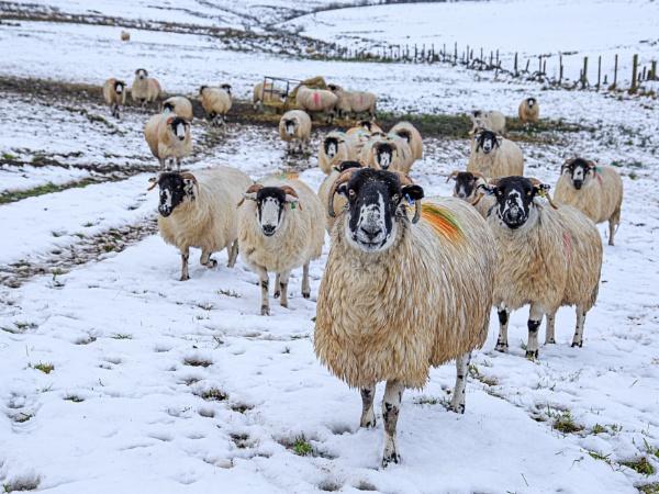 Sheep by Stevetheroofer