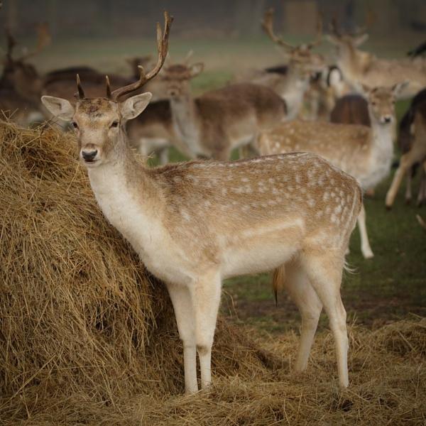 Deer in Bushy Park by jomangabey