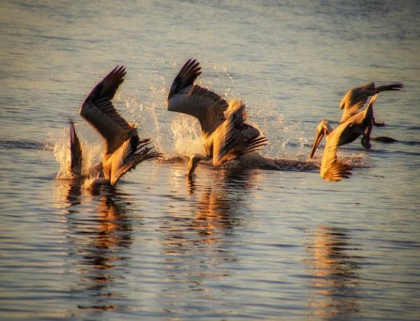 Diving Pelicans by gajewski