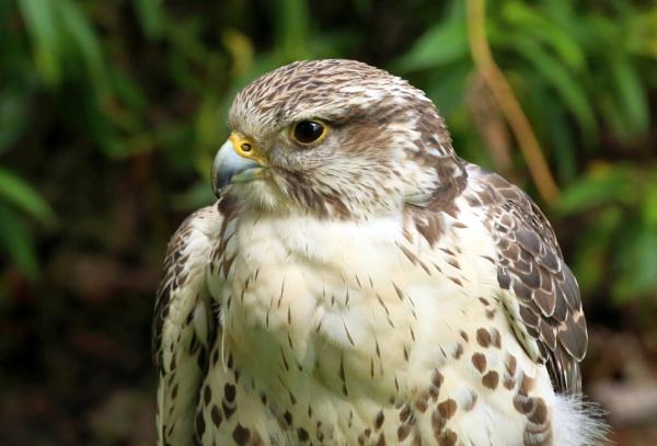 Folorn Falcon by mikekay
