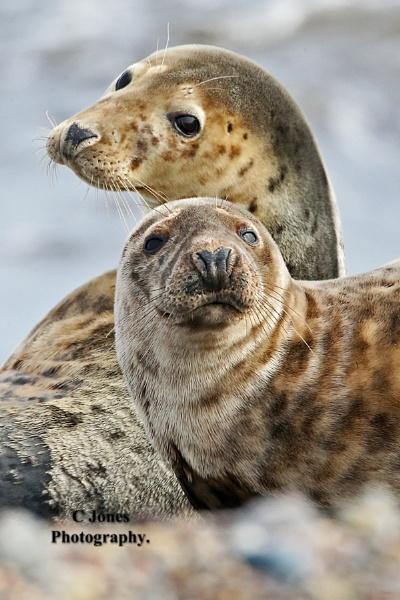 Grey Seals by cjones
