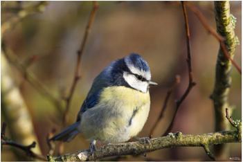 Blue tit on a frosty December morning!
