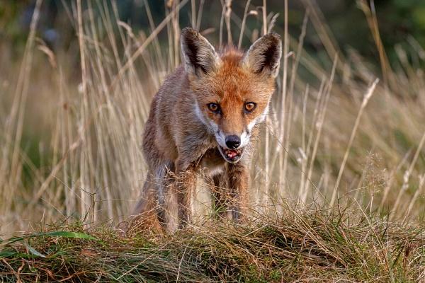 Fox Vixen (Vulpes Vulpes) by DerekL