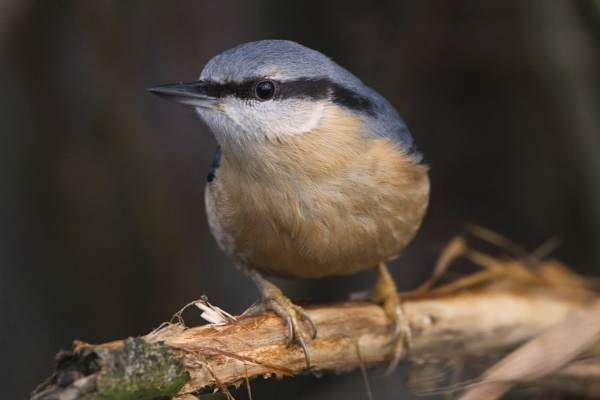 Nuthatch by PGibbings