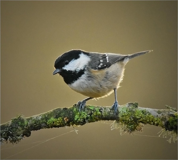 Coal Tit by MalcolmM