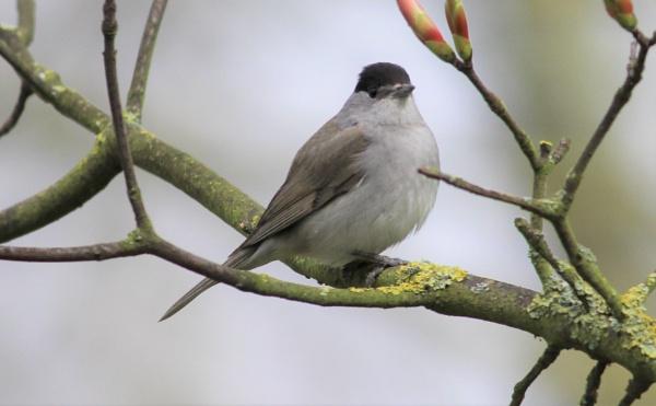 song bird by billd1000