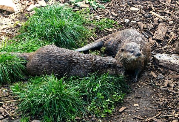Otters. by niknakpaddywhack