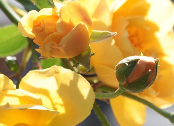 Roses by GwB