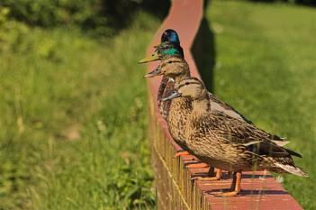 Wall Ducks 2