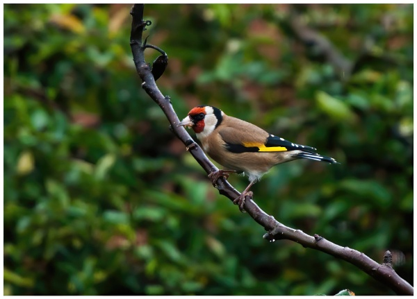 Goldfinch in the Rain by davidgibson