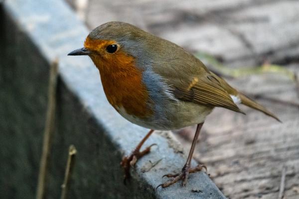 Bold Robin by terra