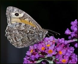 Grayling Nectaring :-