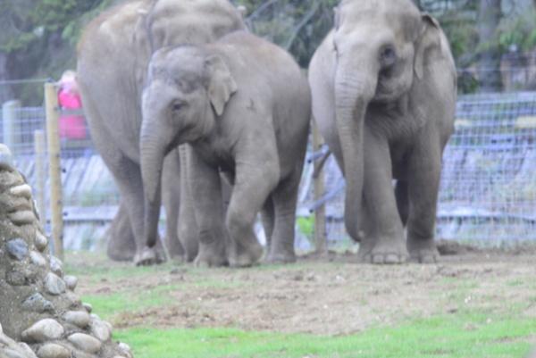 elephants by peterthowe