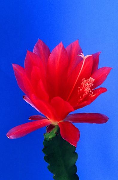 Epiphyllum Flower by TonyDy