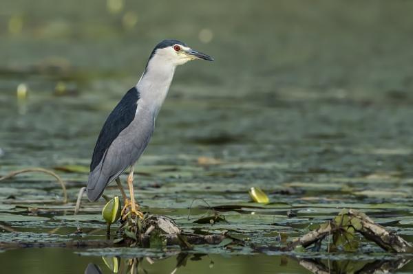 Black-Crowned Night Heron by richmowil