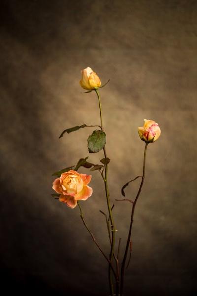 December rose by JackAllTog