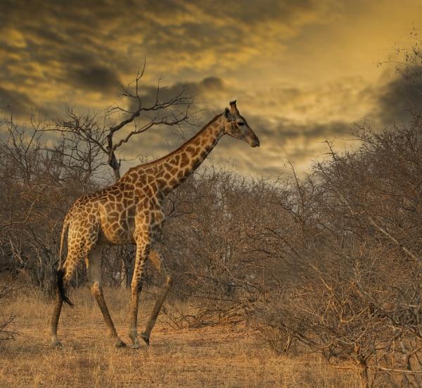 Lone Giraffe by esoxlucius