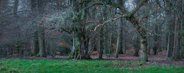 Great Oak tree by DaveShandley