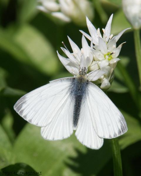 Green-veined White On Wild Garlic by Alan_Baseley