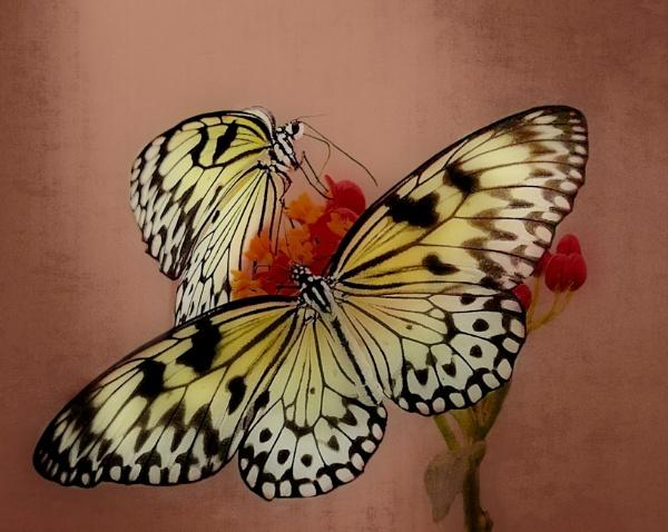 Butterfly Glow by sweetpea62