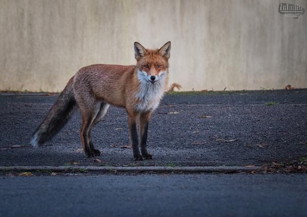 The Street Fox by MartinWait