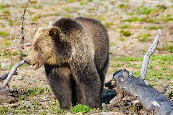 Grizzly Bear in Yellowstone by StuartDavie