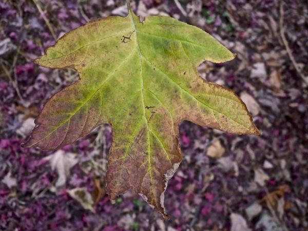 The colors of Fall-#5 Oakleaf Hydrangea by handlerstudio