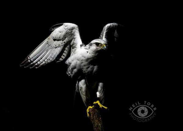 Ice - Gyr Falcon by nmt4
