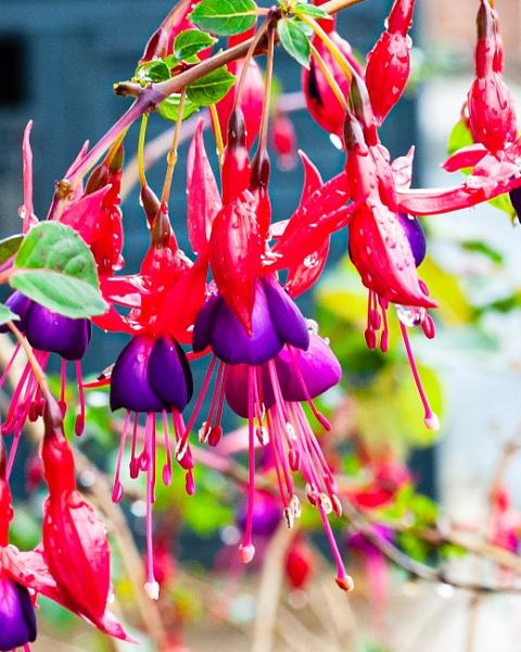Fuchsia 2 by Nikonuser1