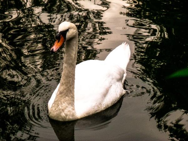Swan Lake by woodini254
