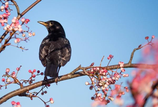 Blackbird by Danny1970