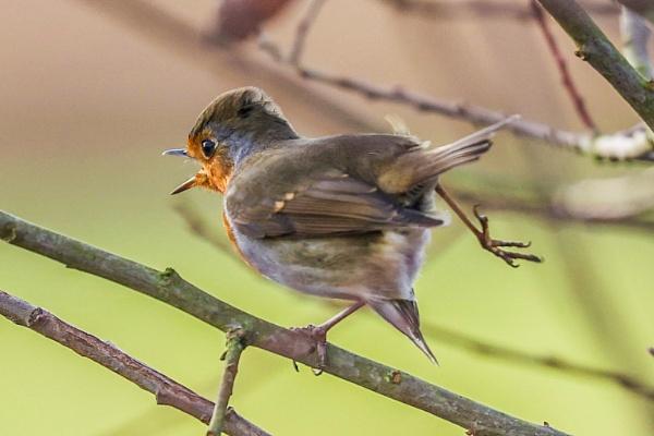 Rocking Robin by Lencollard