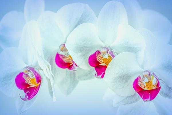 Phalaenopsis - Moth Orchid by SteveWood14458