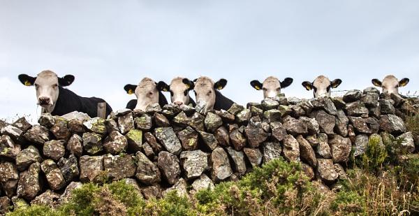 Curious Calves by Acancarter